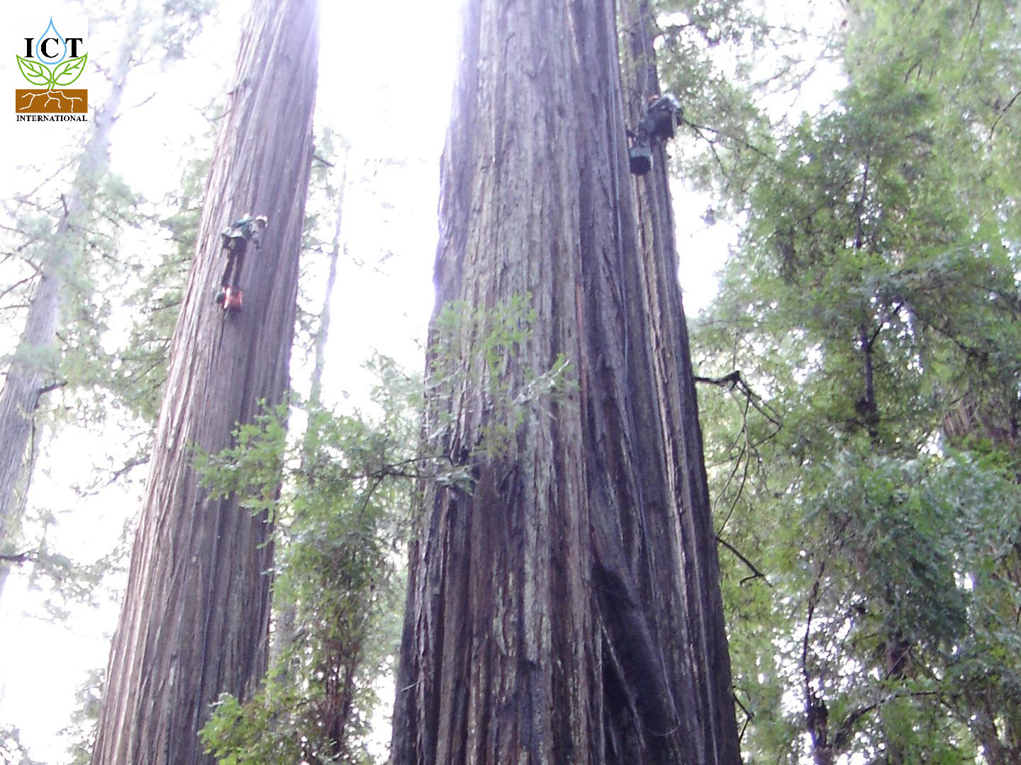 Installing Heat Ration Method HRM Sap Flow sensors on Redwoods