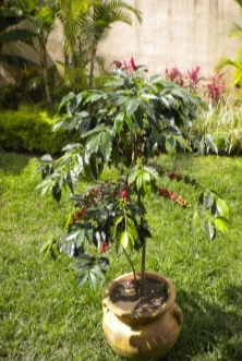 Coffee plant in 25 L pot