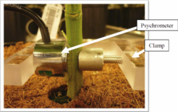 Installed stem psychrometer. Psychrometer face is placed against exposed xylem and clamped in place. (Photo credit: J. Stemeroff)