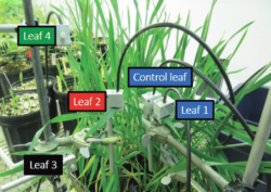 PSY1 Leaf Psychrometer on Wheat