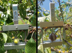 Installation of Fruit Dendrometer DF1 on an unripe cherry
