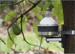 Dendrometer on a fruiting Avocado tree to monitor daily tree swelling and seasonal growth, in response to conditions and irrigation events.